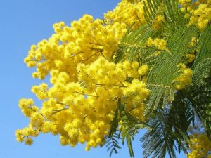 Happy International Women's day! In Italy la giornata della donna is a celebration of Women. The Mimosa flower is worn or given as a gift.